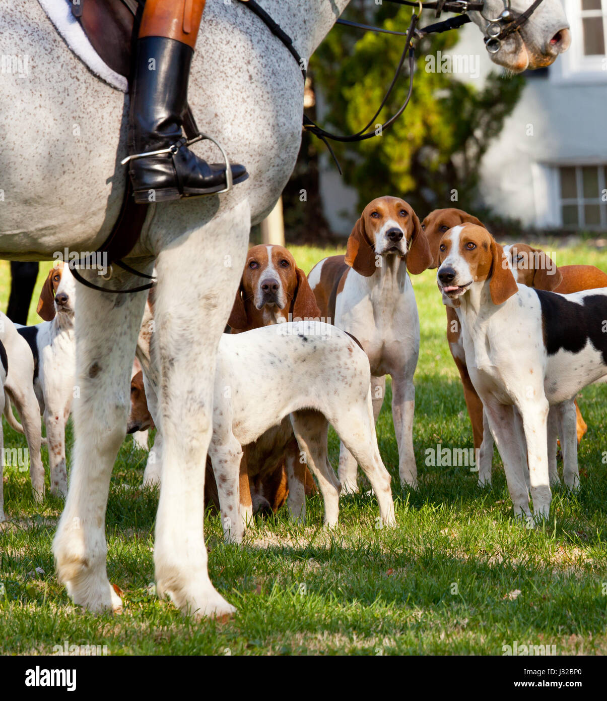 Fox hunting - Fox Hounds and huntsman at a traditional fox hunt - Stock Image
