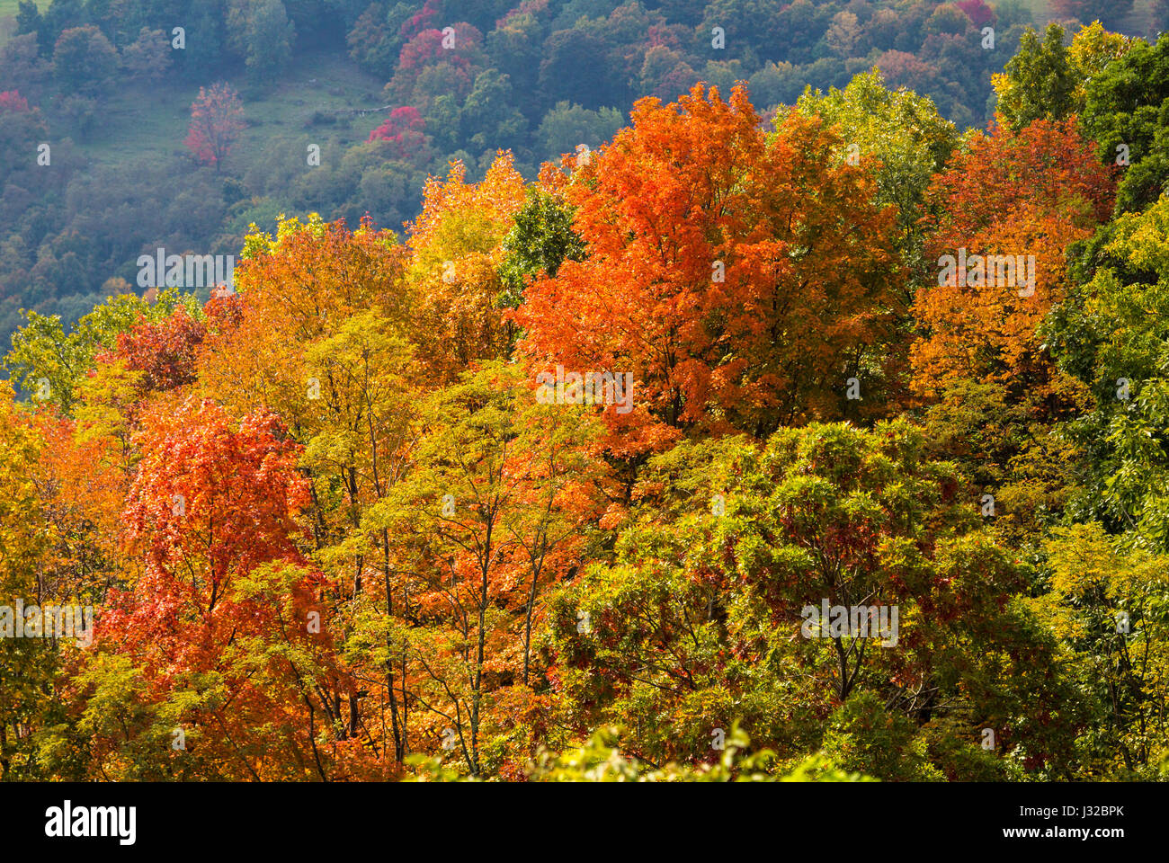 Autumn fall leaves in the Monongahela National Forest, Allegheny Mountains, West Virginia, USA with hills in the - Stock Image