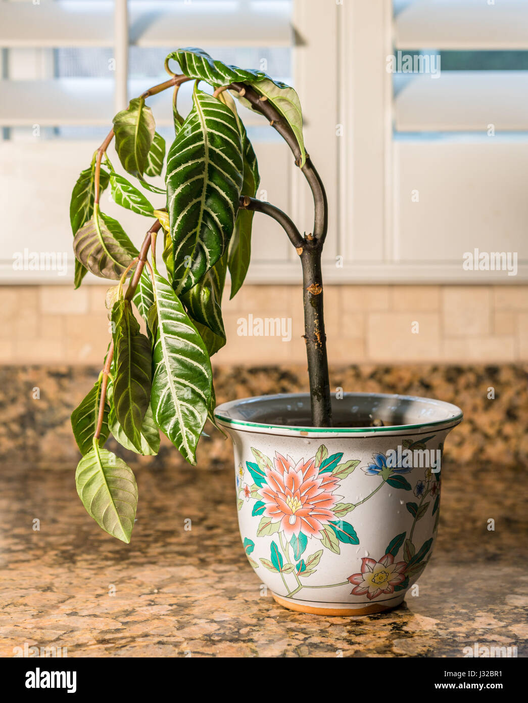 Drooping house plant in kitchen - shame, melancholy or depression concept - Stock Image