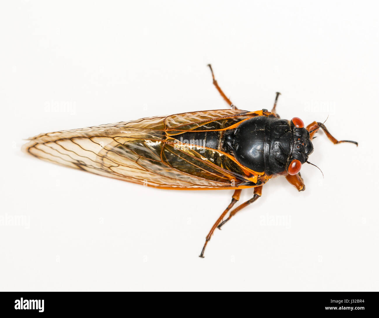 Cicada close up from Brood II in 2013 in Virginia. Detailed macro image against white background - Stock Image