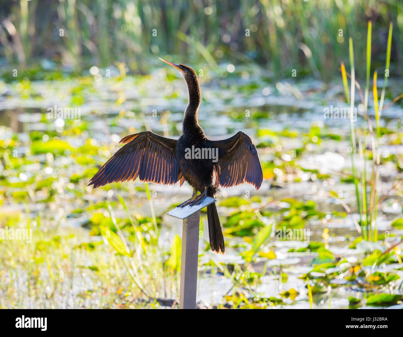 Anhinga bird sitting on sign in Florida Everglades and stretching its wings to dry - Stock Image