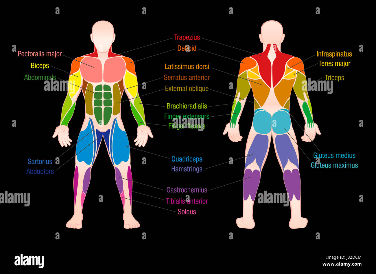 Muscle chart with most important muscles of the human body colored muscle chart with most important muscles of the human body colored anterior and posterior view labeled illustration on black background ccuart Choice Image