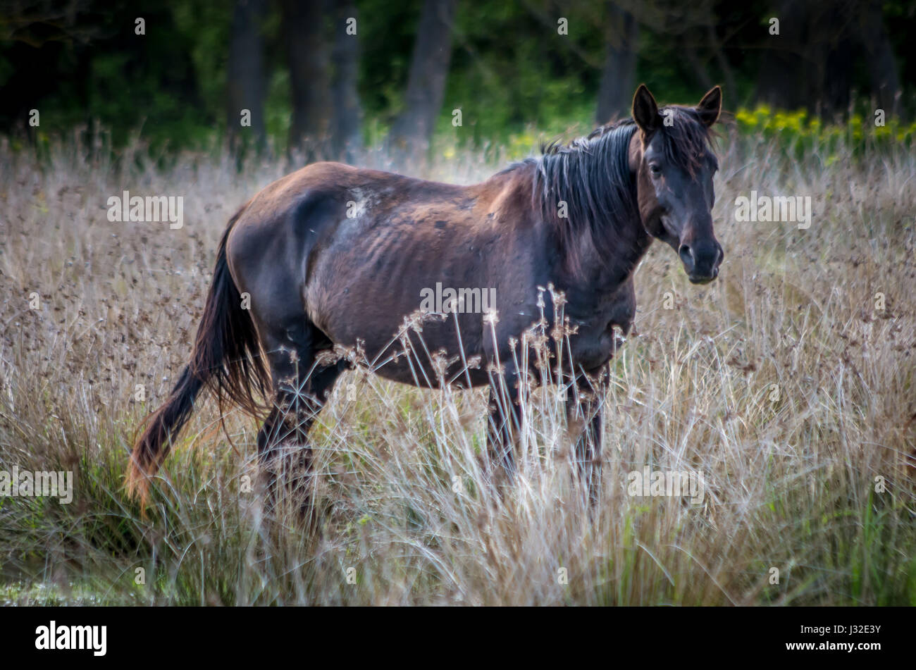 Letea forest, Tulcea county, Romania. Wild horses in Danube Delta. Natural reservation of Letea. - Stock Image