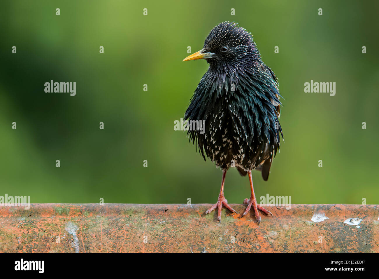 Common starling / European starling (Sturnus vulgaris) male perched on roof tile of house - Stock Image