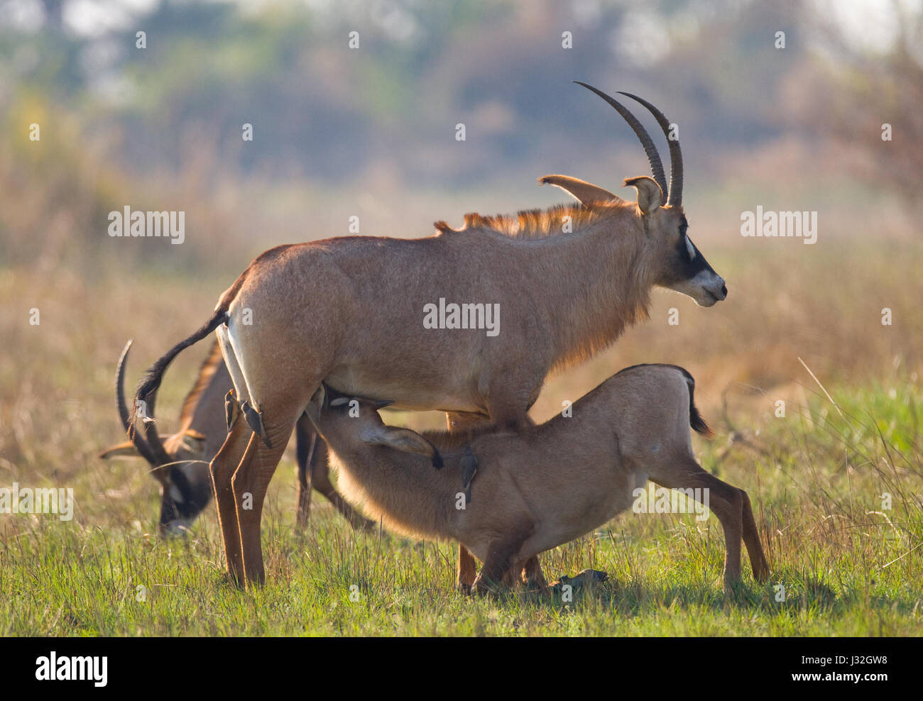 Male and female antelope during the mating season. Botswana. Okavango Delta. An excellent illustration. - Stock Image