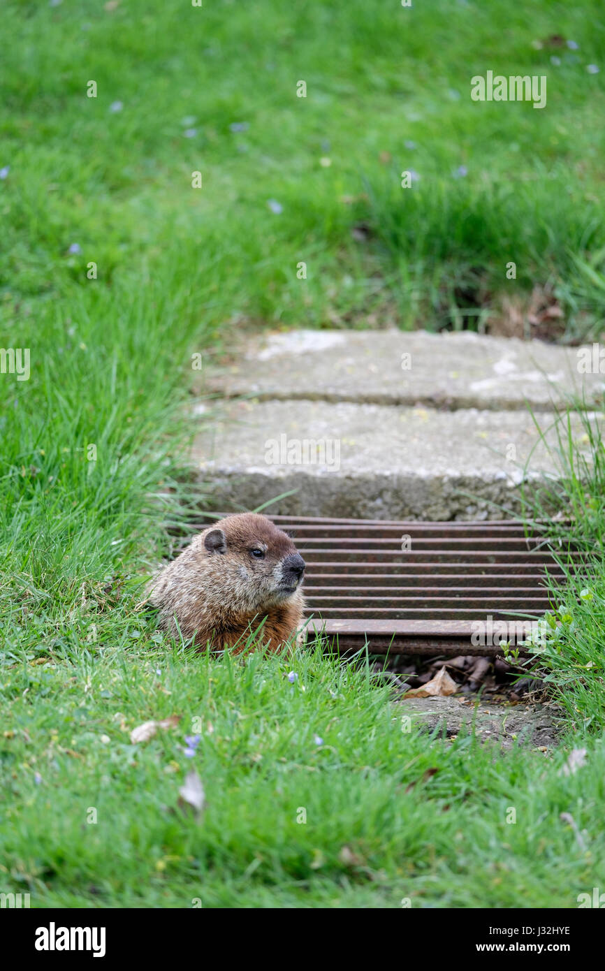 Male groundhog, woodchuck, (Marmota monax) at the entrance of its burrow in an urban setting, city park, London, - Stock Image