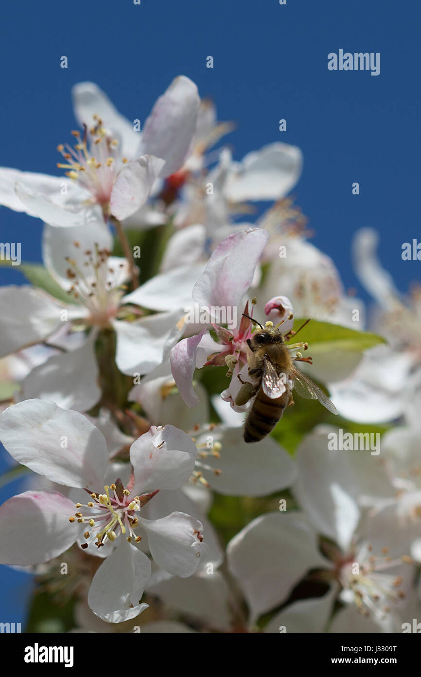Bee on crabapple blossoms - Stock Image