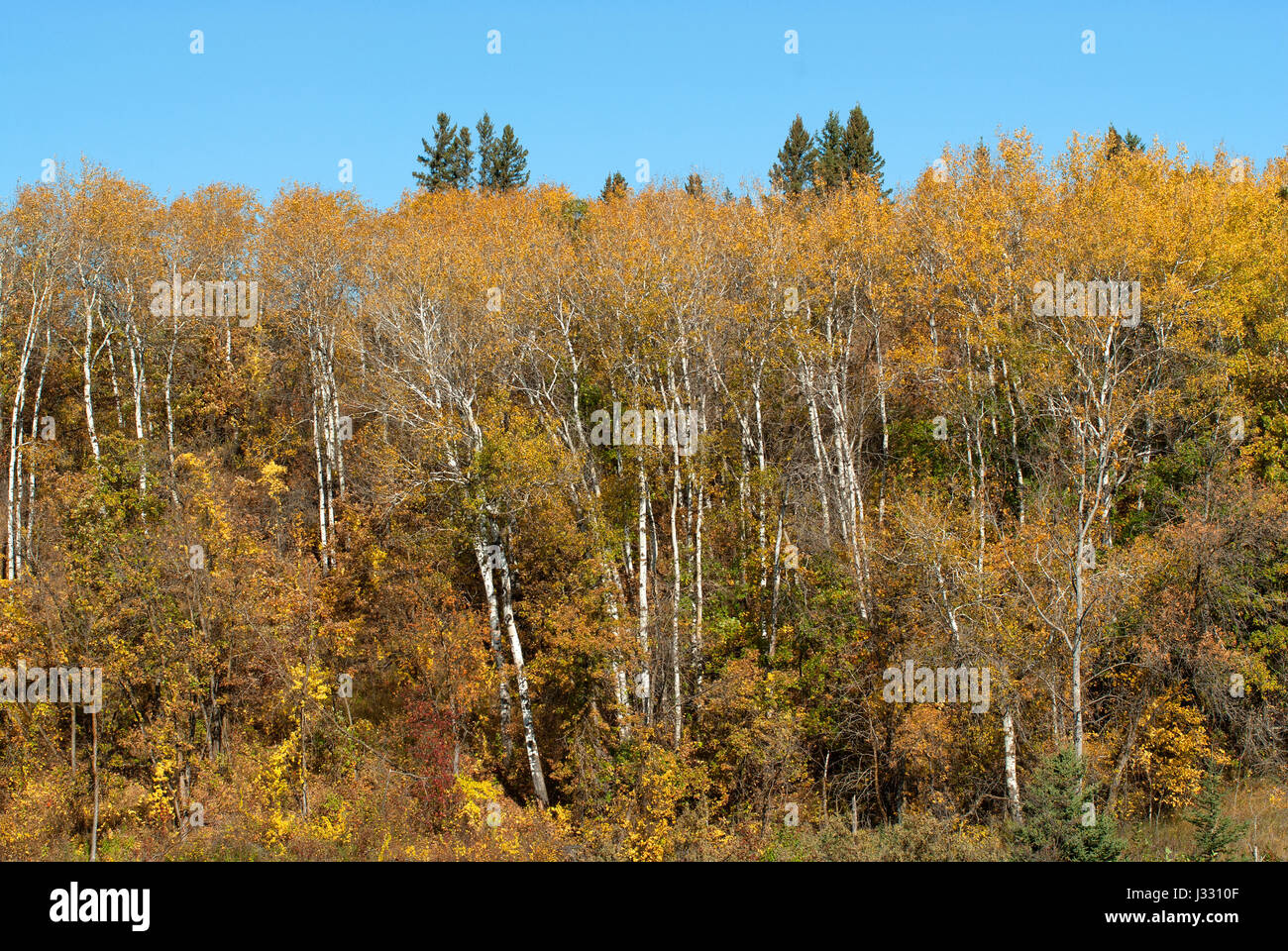 Fall foliage at Spruce Woods Provincial Park, Manitoba, Canada - Stock Image