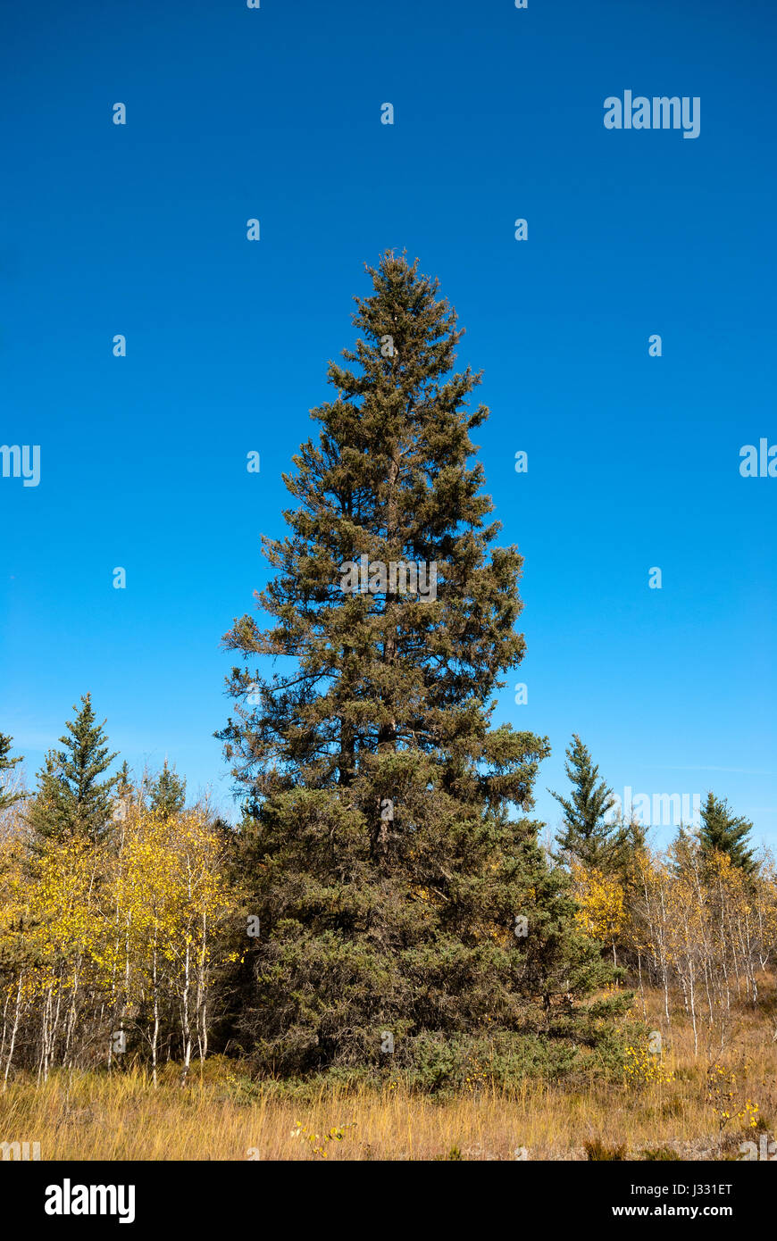 Spruce tree in the Spruce Woods Provincial Park, Manitoba, Canada - Stock Image