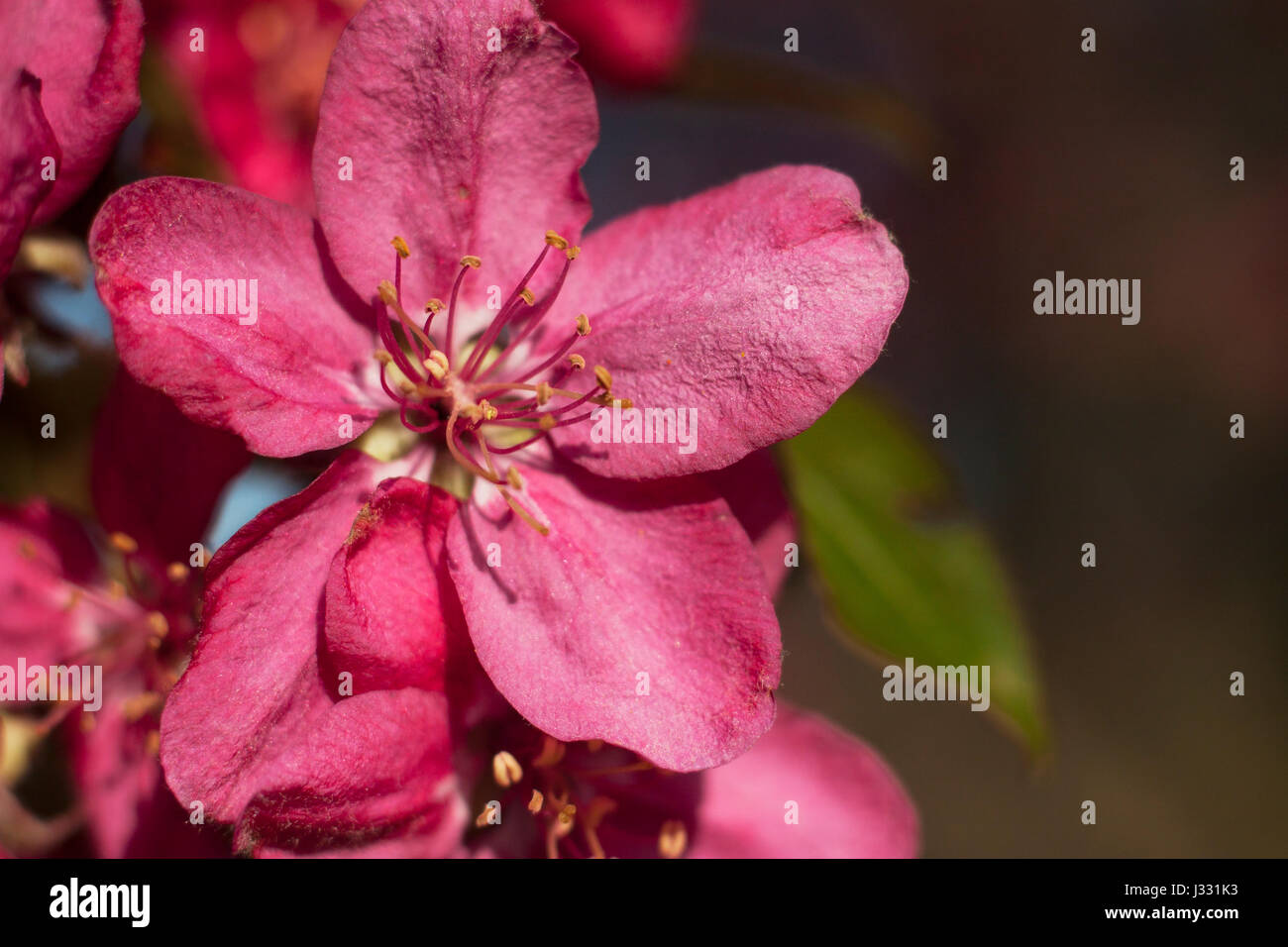 Pink Apple Flowers Beautiful Flowering Apple Trees Background With