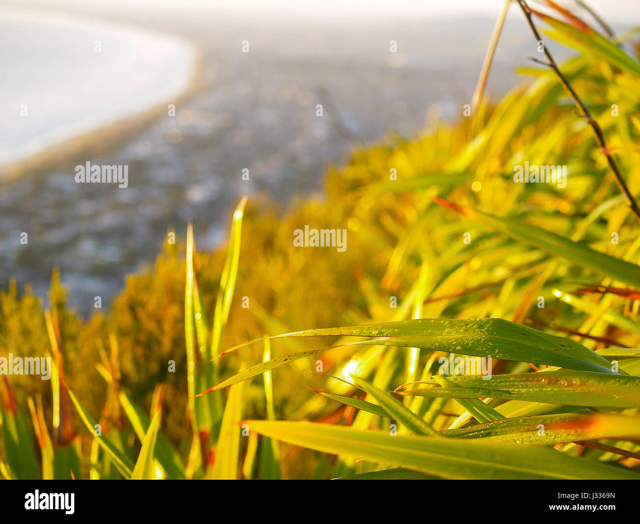 Dew drops on New Zealand flax catches early morning sun on side of Mount Maunganui with out of focus town extends - Stock Image