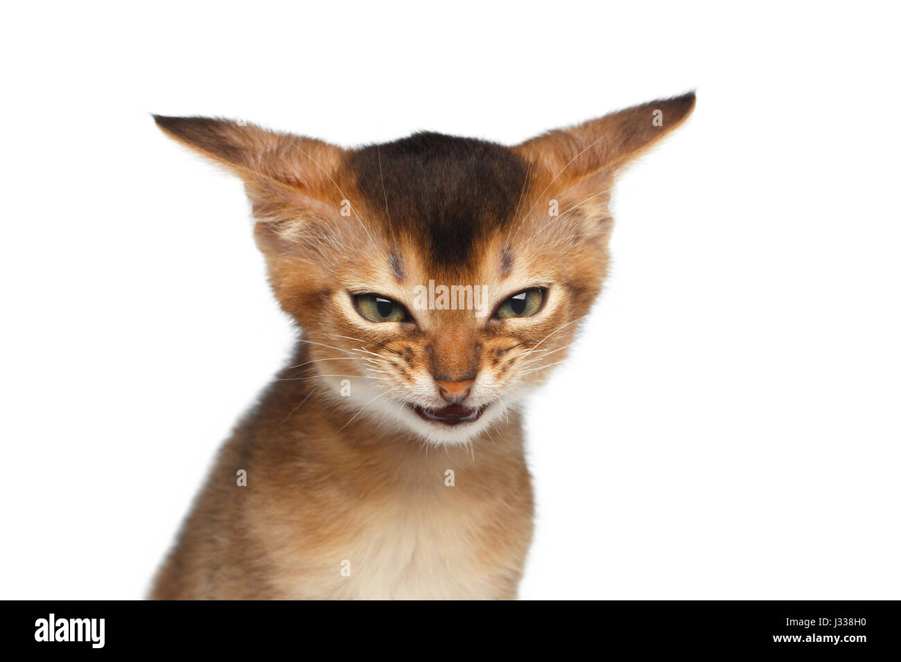 Portrait of Angry Kitten on Isolated White Background - Stock Image