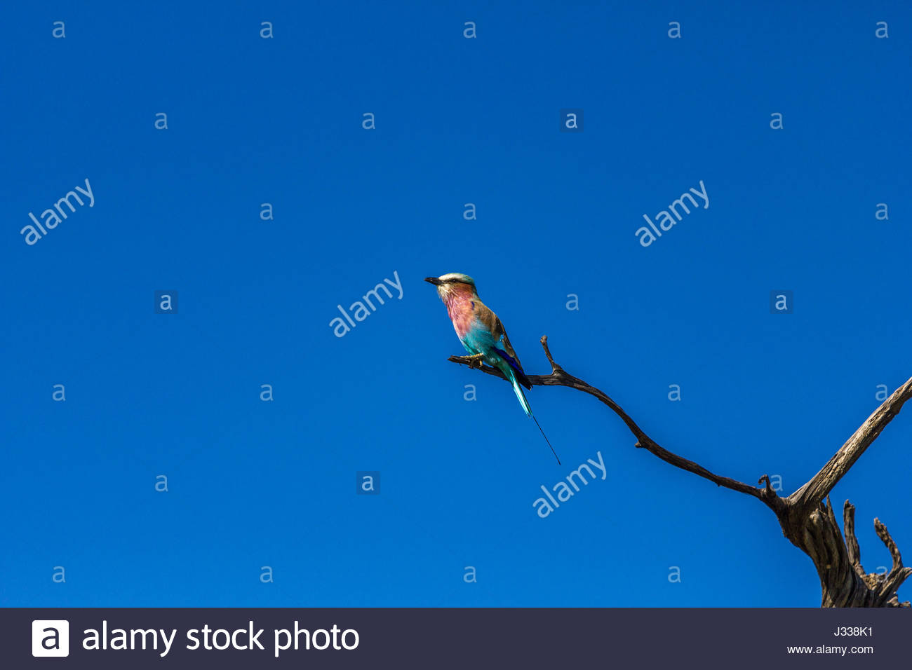 A Lilac-breasted Roller perched on a dead twig. Stock Photo