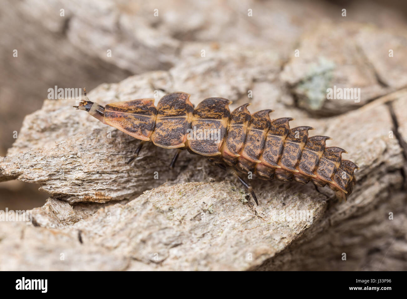 A firefly larva (Pyractomena borealis), 5th instar, crawls on the side of a tree. - Stock Image