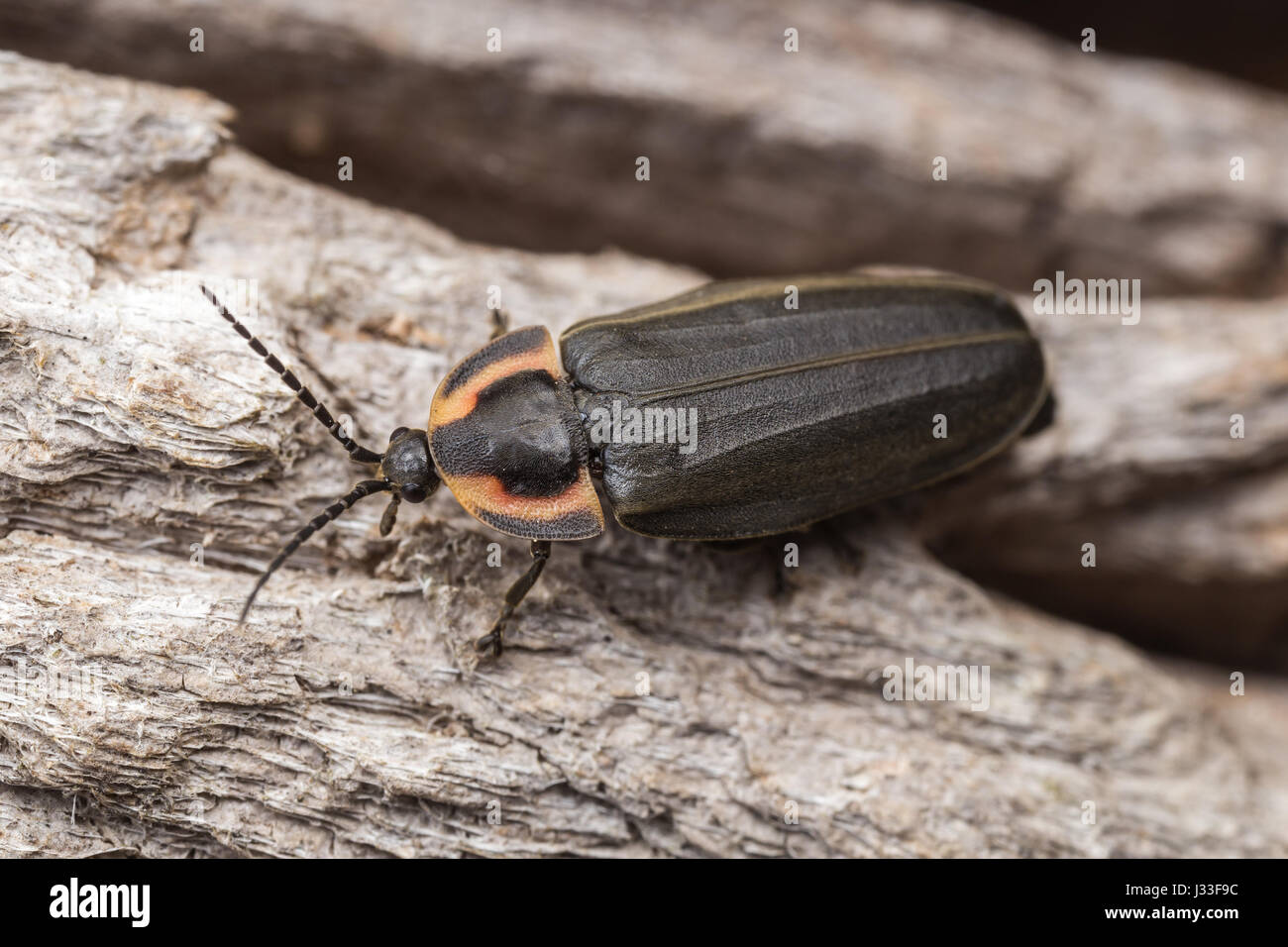 A Winter Firefly (Ellychina corrusca) explores the bark of a tree. - Stock Image