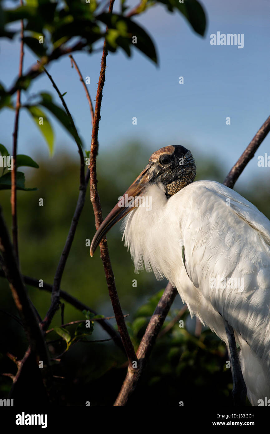 Adult Wood Stork Portrait - late day light illuminates its features as it stands under leafy pond apple branches. - Stock Image