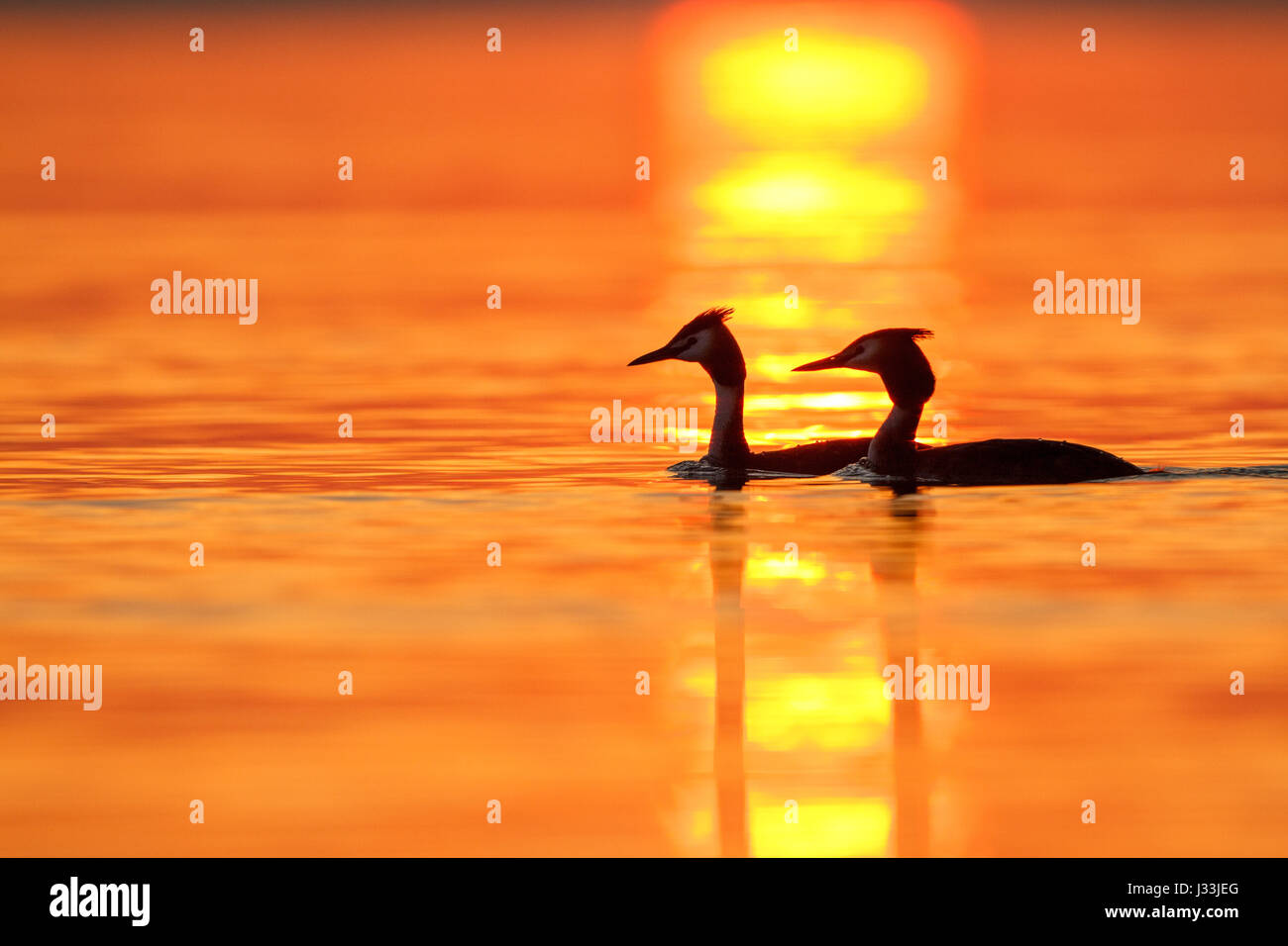 Two Great crested grebes (Podiceps cristatus) in lake, sunset, Baden-Württemberg, Germany - Stock Image