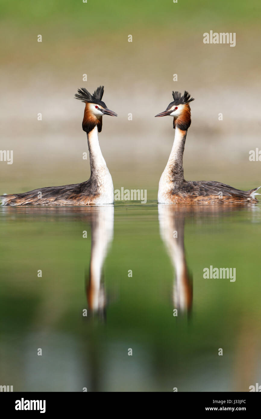 Great crested grebes (Podiceps cristatus) in the lake, Baden-Württemberg, Germany - Stock Image