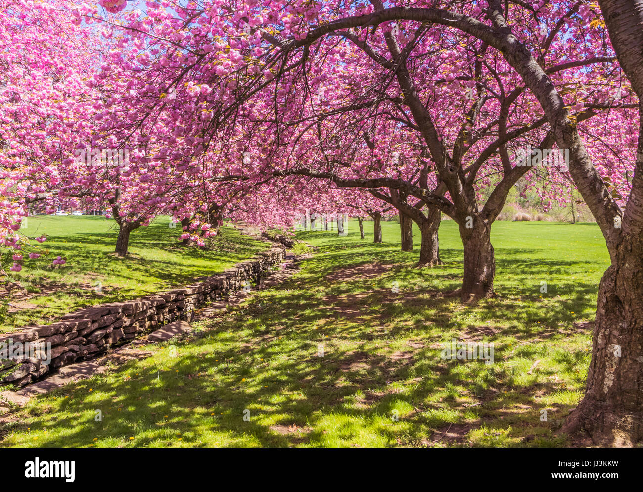 Pink cherry trees in full bloom drape gracefully near a stone canal under bright blue sky in springtime - Stock Image