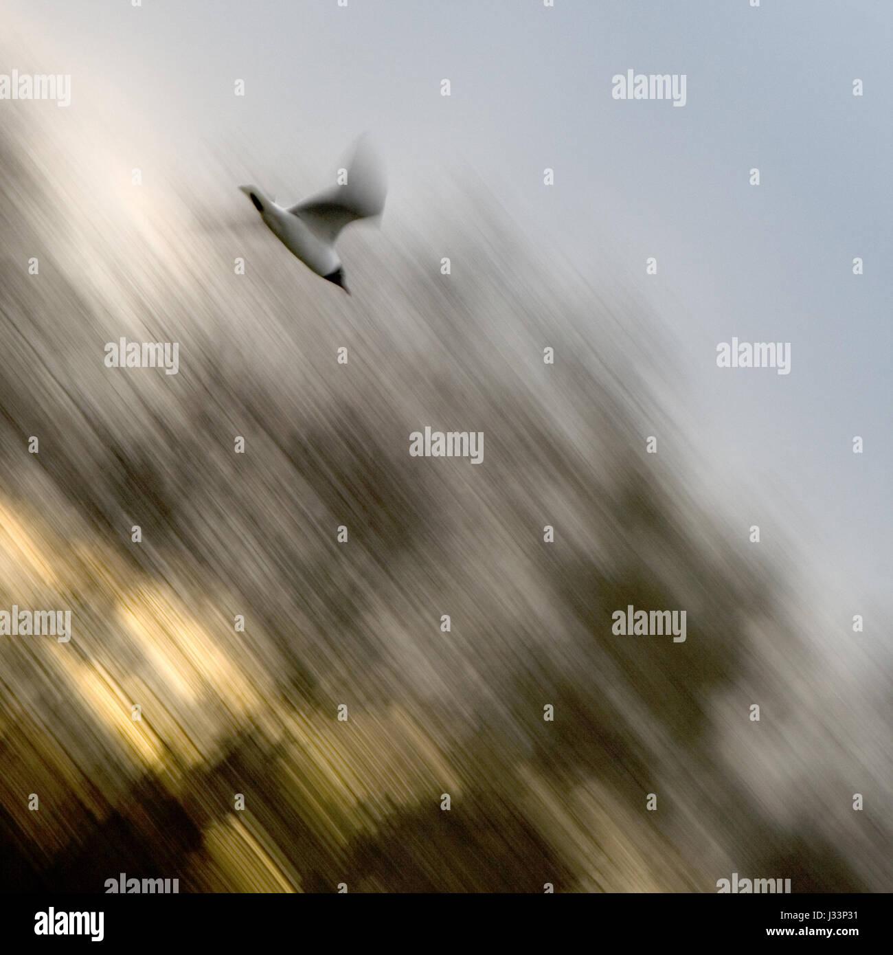 Fast gull bird swiftly attacks. A dynamic scene. - Stock Image