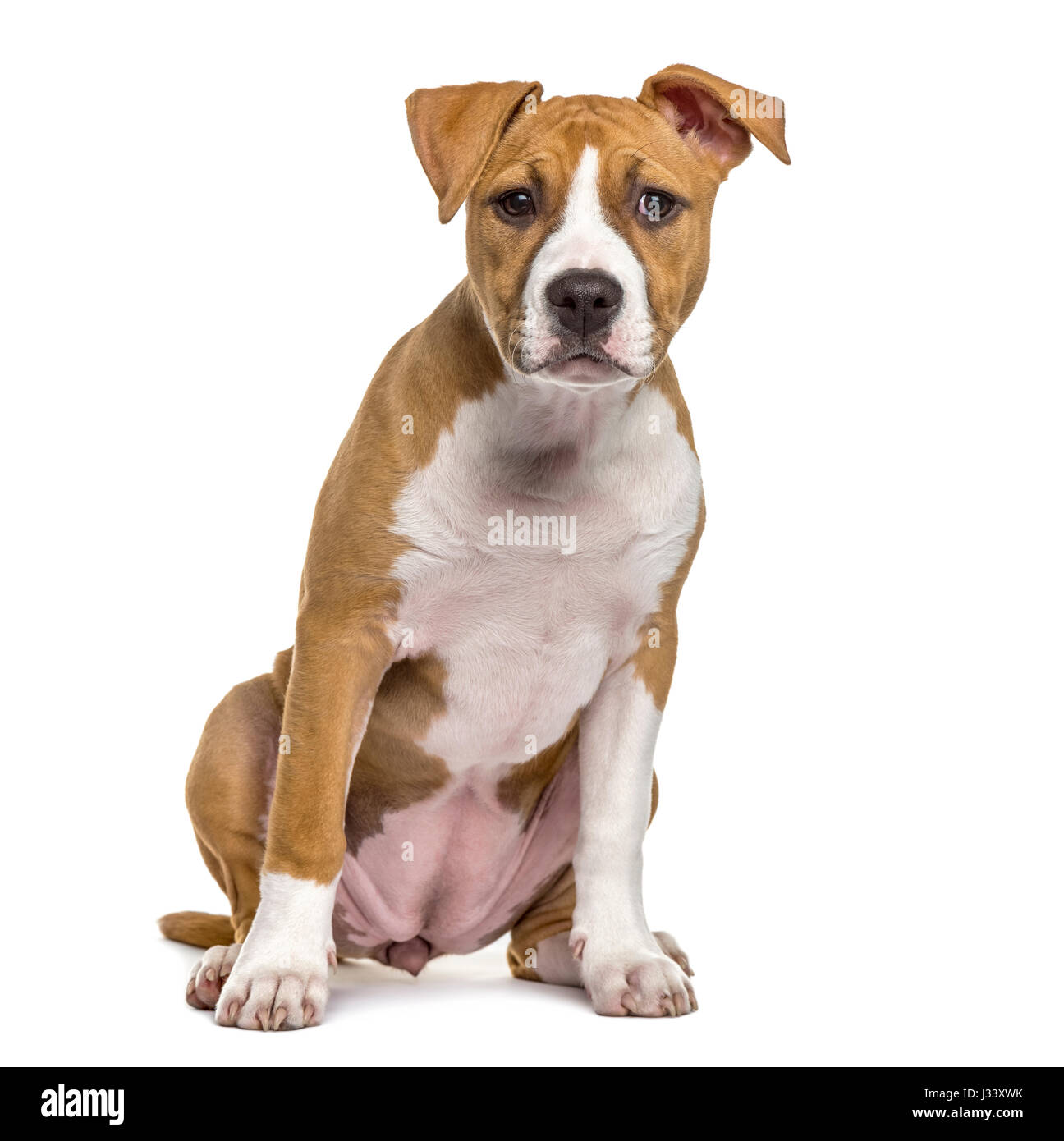 American Staffordshire Terrier puppy, 4 months old, isolated on white - Stock Image