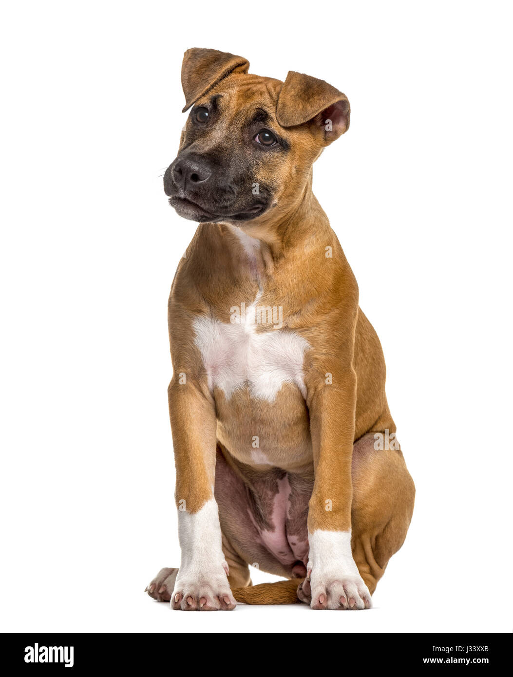 American Staffordshire Terrier puppy (4 months old) - Stock Image