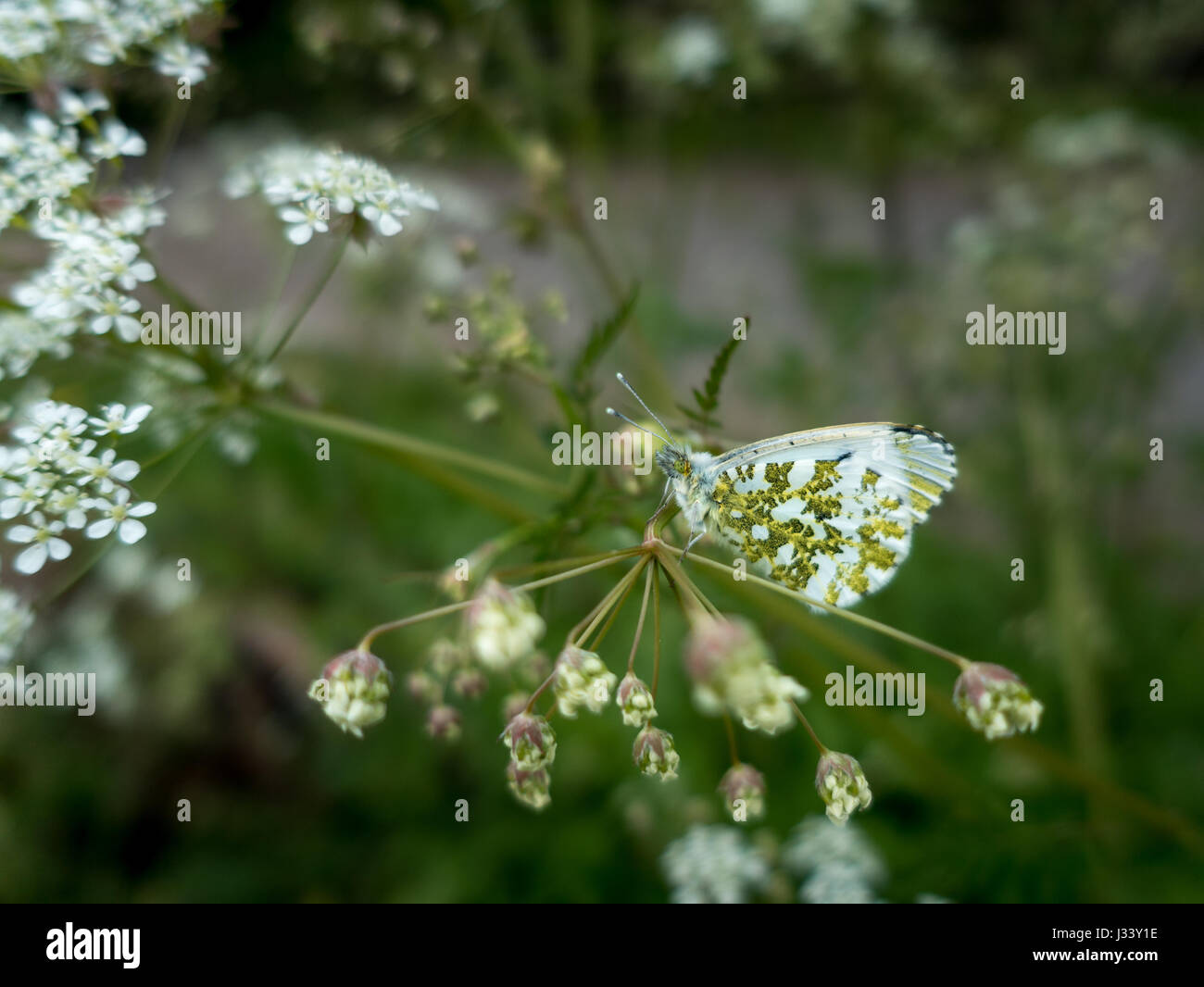 Wildlife: the remarkable camouflage of an orange tip butterfly (anthocharis cardamines) on cow parsley, waiting - Stock Image