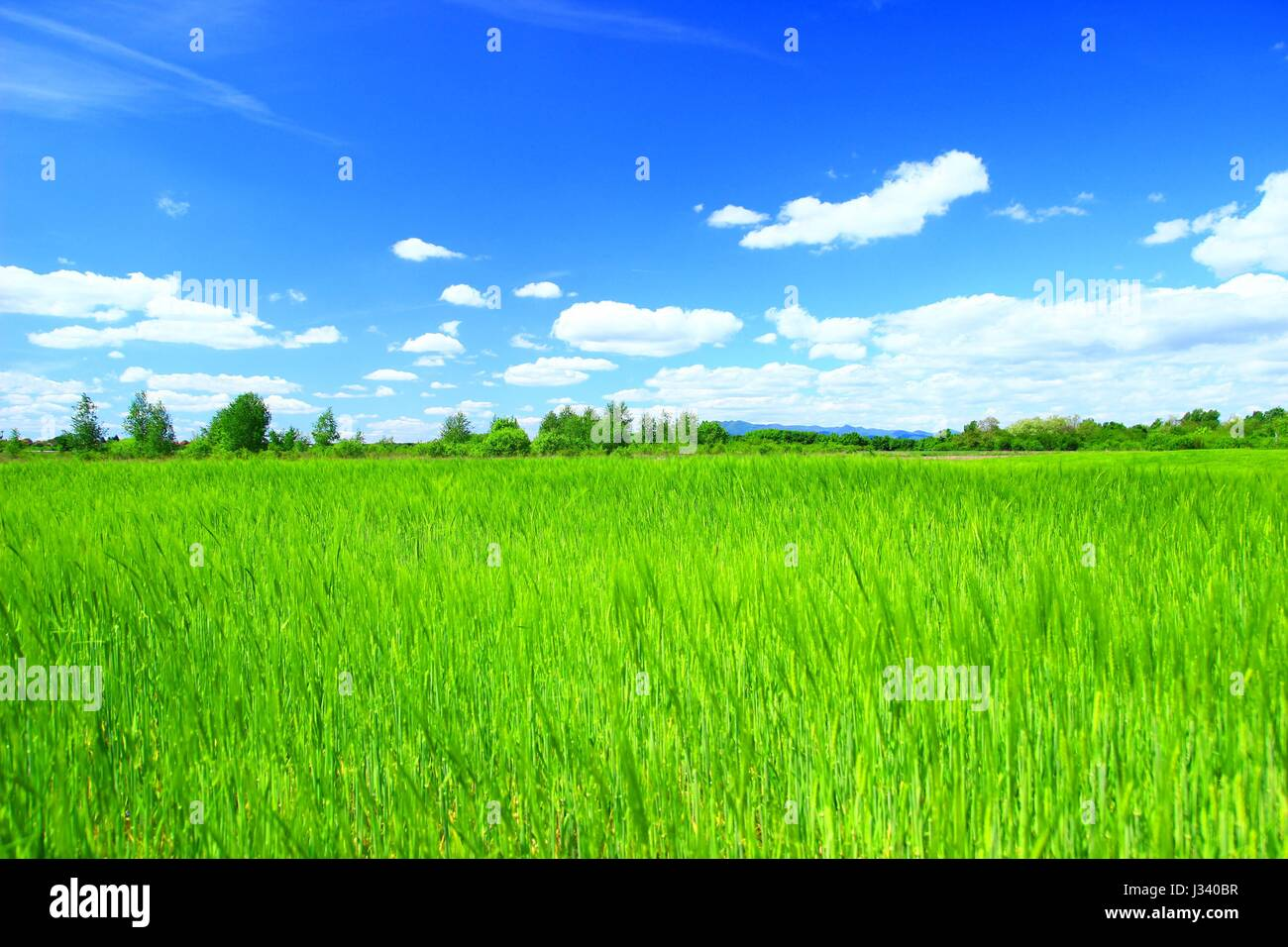 Landscape wallpaper with green wheat field and blue sky with some clouds - Stock Image