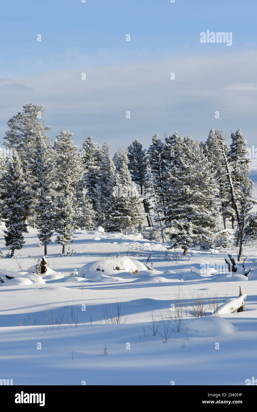 Snow covered conifer trees on plains, fresh deep snow in the caldera of Yellowstone National Park, Winter in Wyoming, - Stock Image