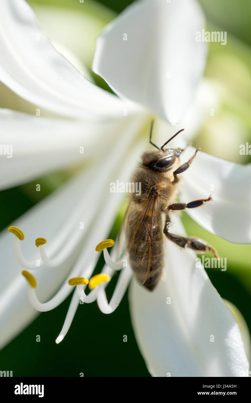 Close-up portrait of a bee at pollination flowering plants - Stock Image