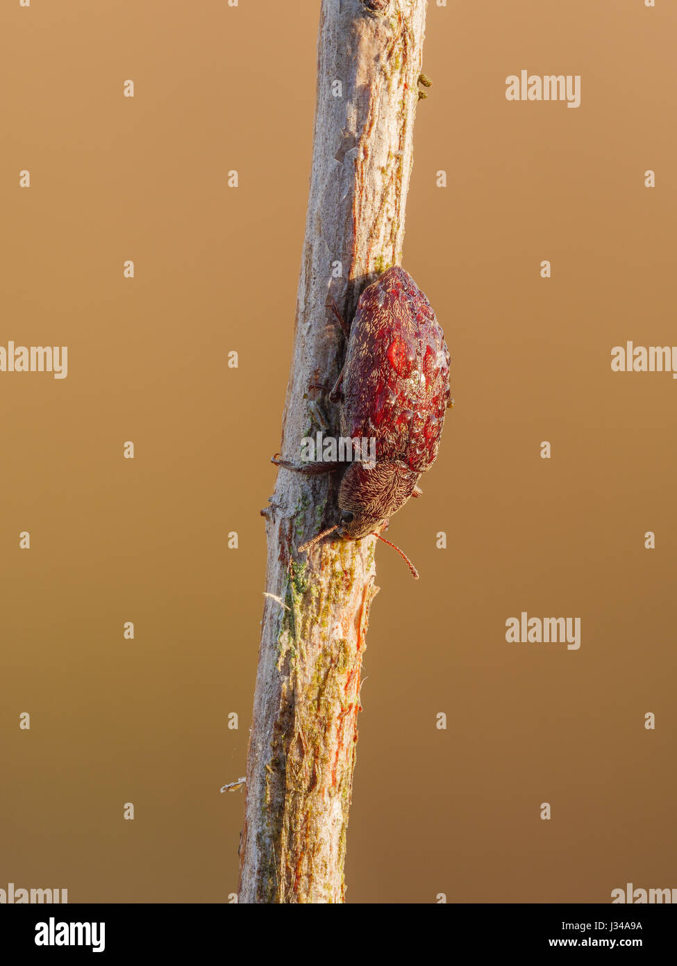 A dew covered Darkling Beetle (Epitragodes tomentosus) perches on its overnight roost on a plant stem early in the - Stock Image