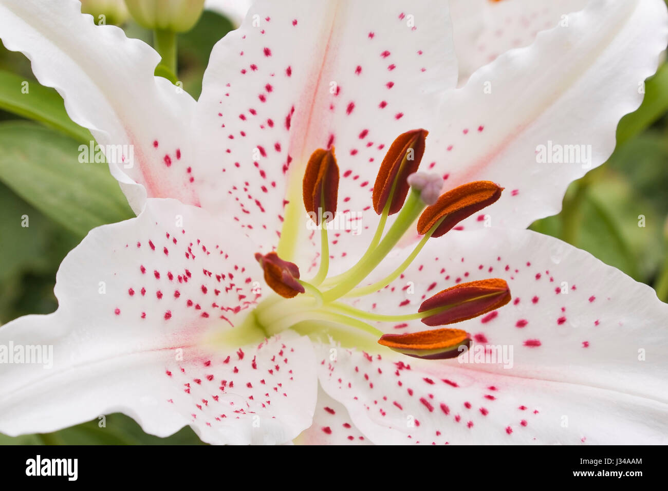 White Pink Lily Stamens Pollen Stock Photos White Pink Lily