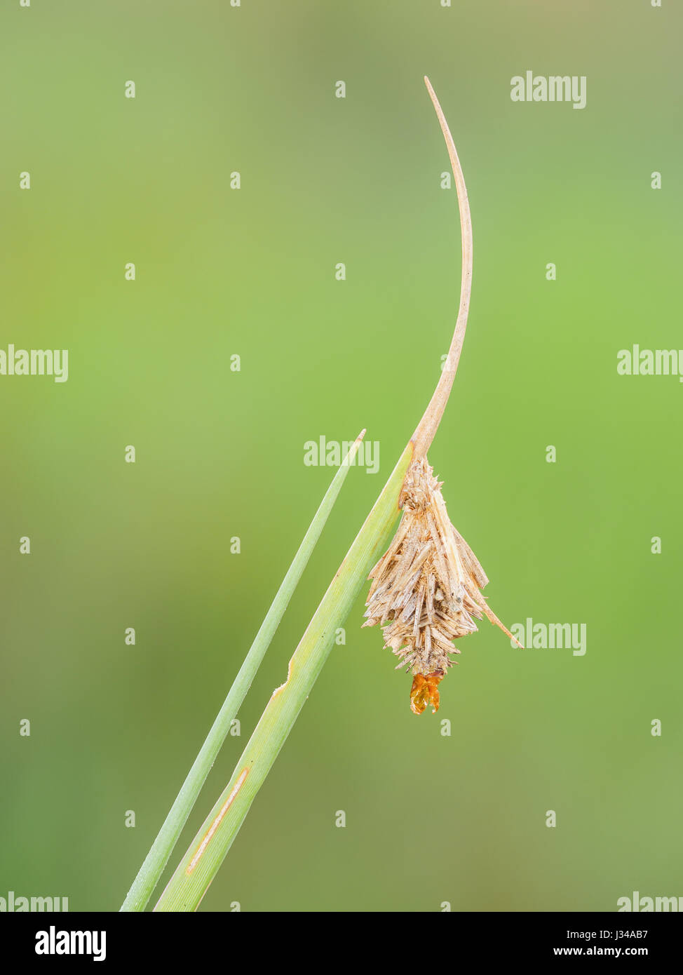 An empty Bagworm Moth (Psychidae) larval case hangs from vegetation. - Stock Image