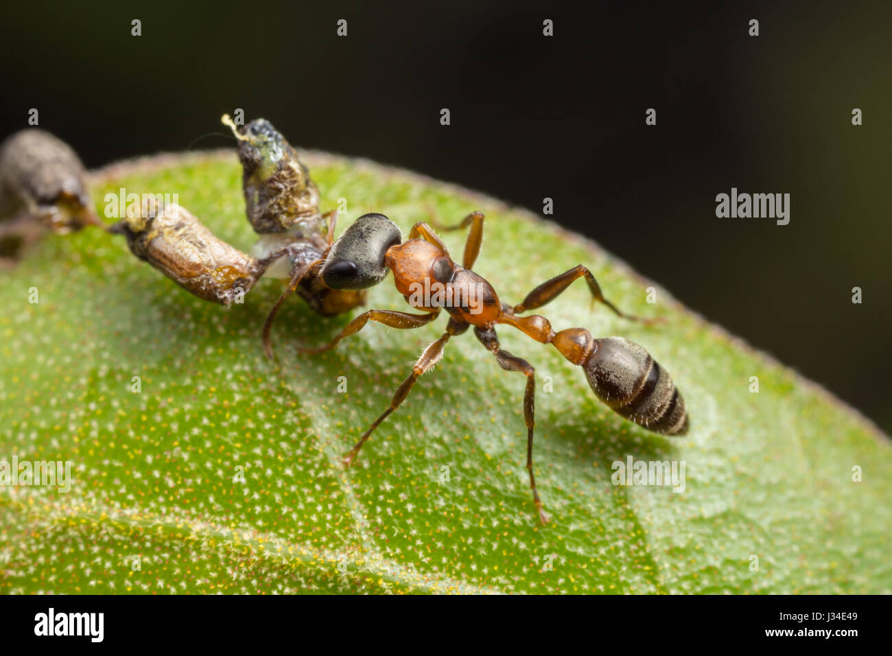 A Graceful Twig Ant (Pseudomyrmex gracilis) holds on to its caught larval prey. - Stock Image
