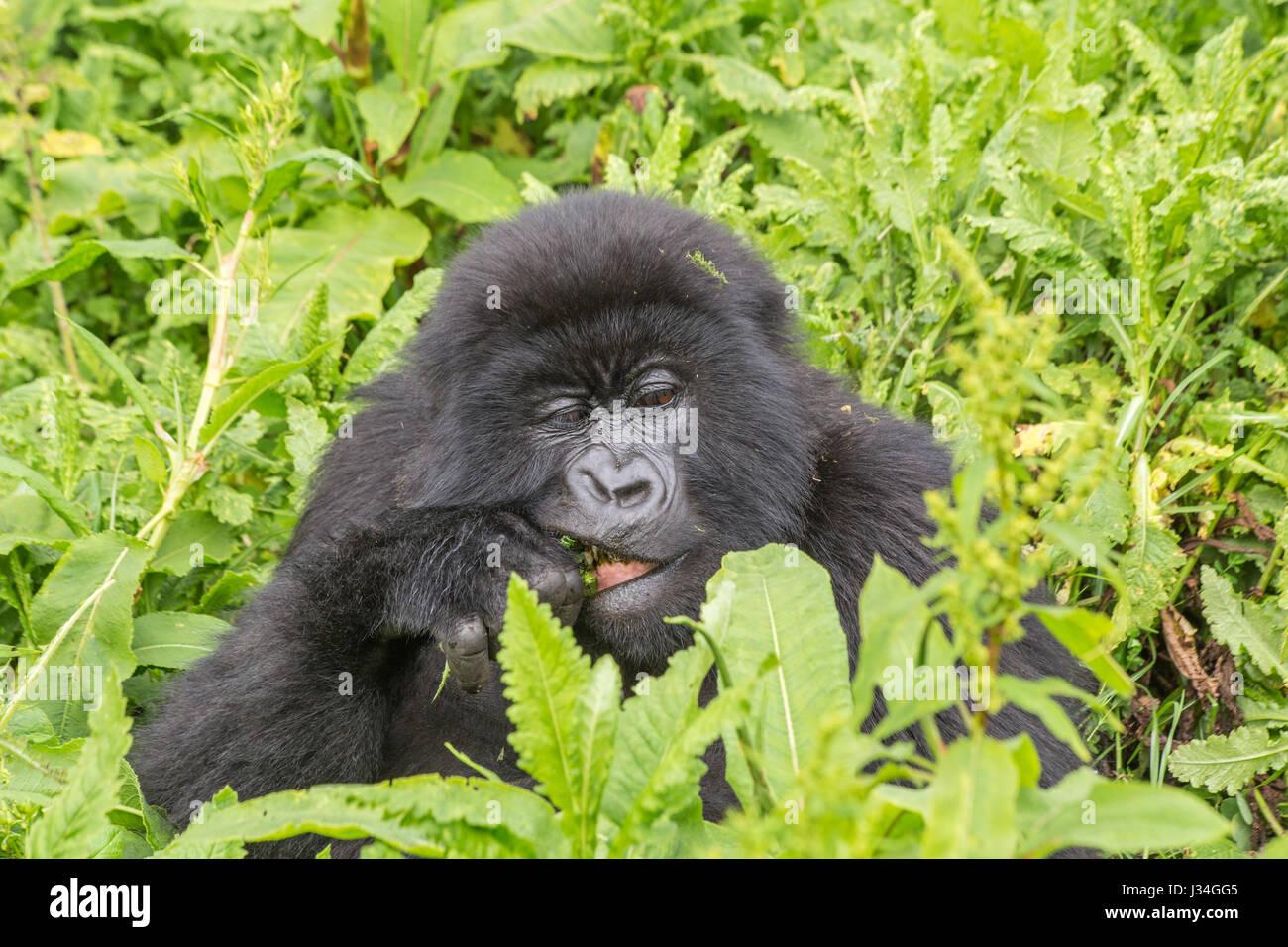 Critically endangered young mountain gorilla (Gorilla beringei beringei) of the Agashya group, taken in the Volcanoes - Stock Image