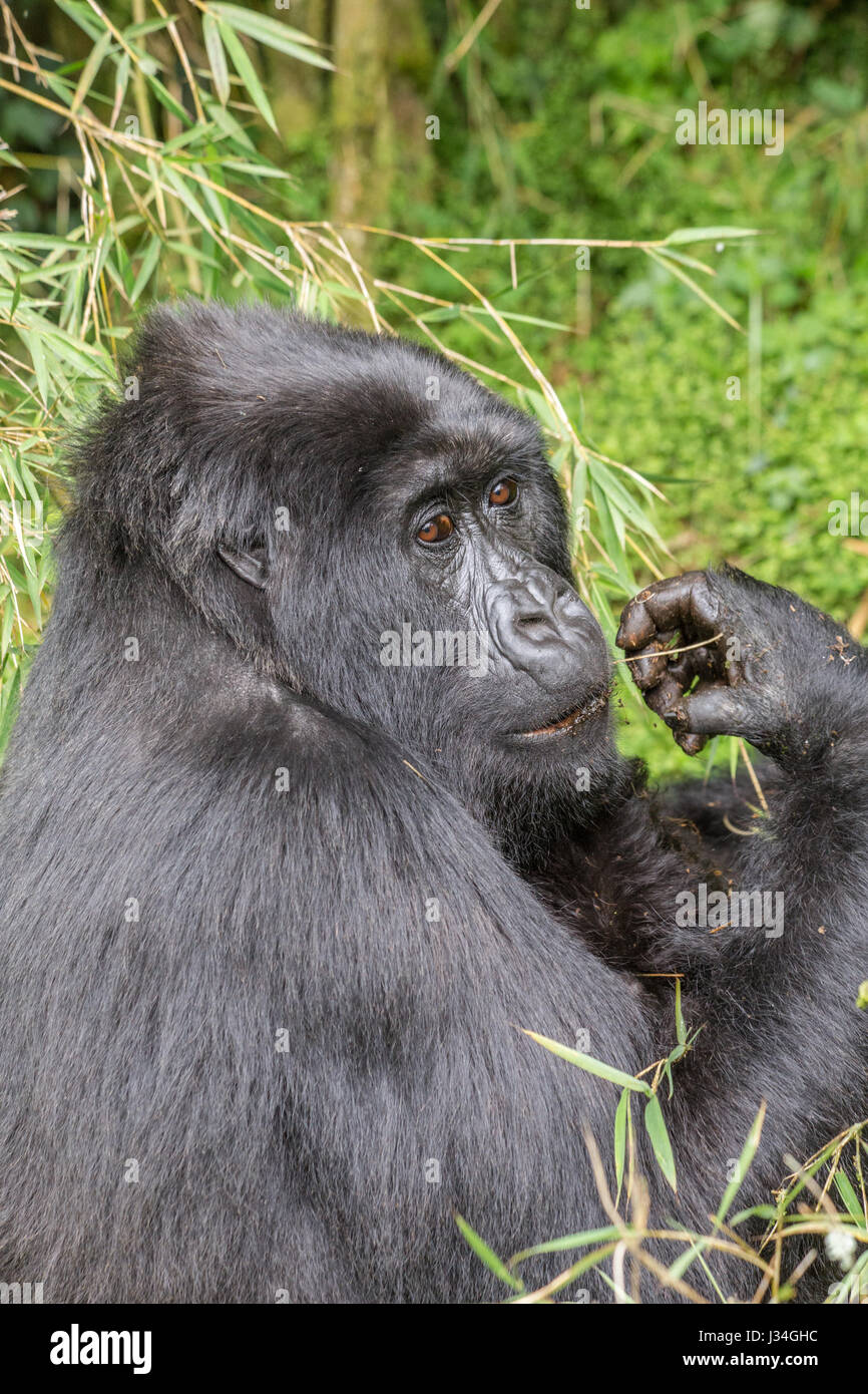 Critically endangered mountain gorilla (Gorilla beringei beringei) mother and baby of the Agashya group, taken in - Stock Image