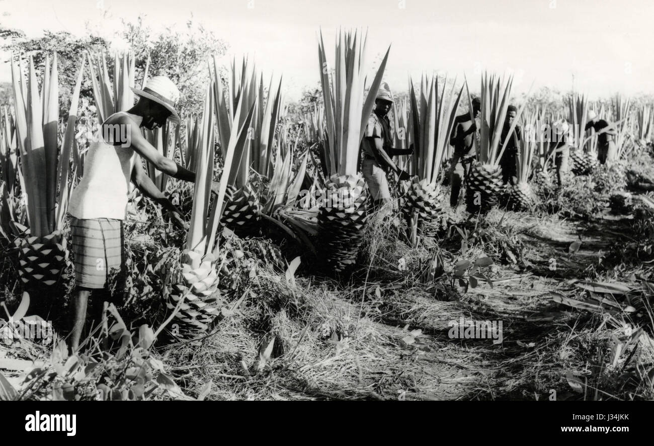 Cutting of Agave, Angola Stock Photo