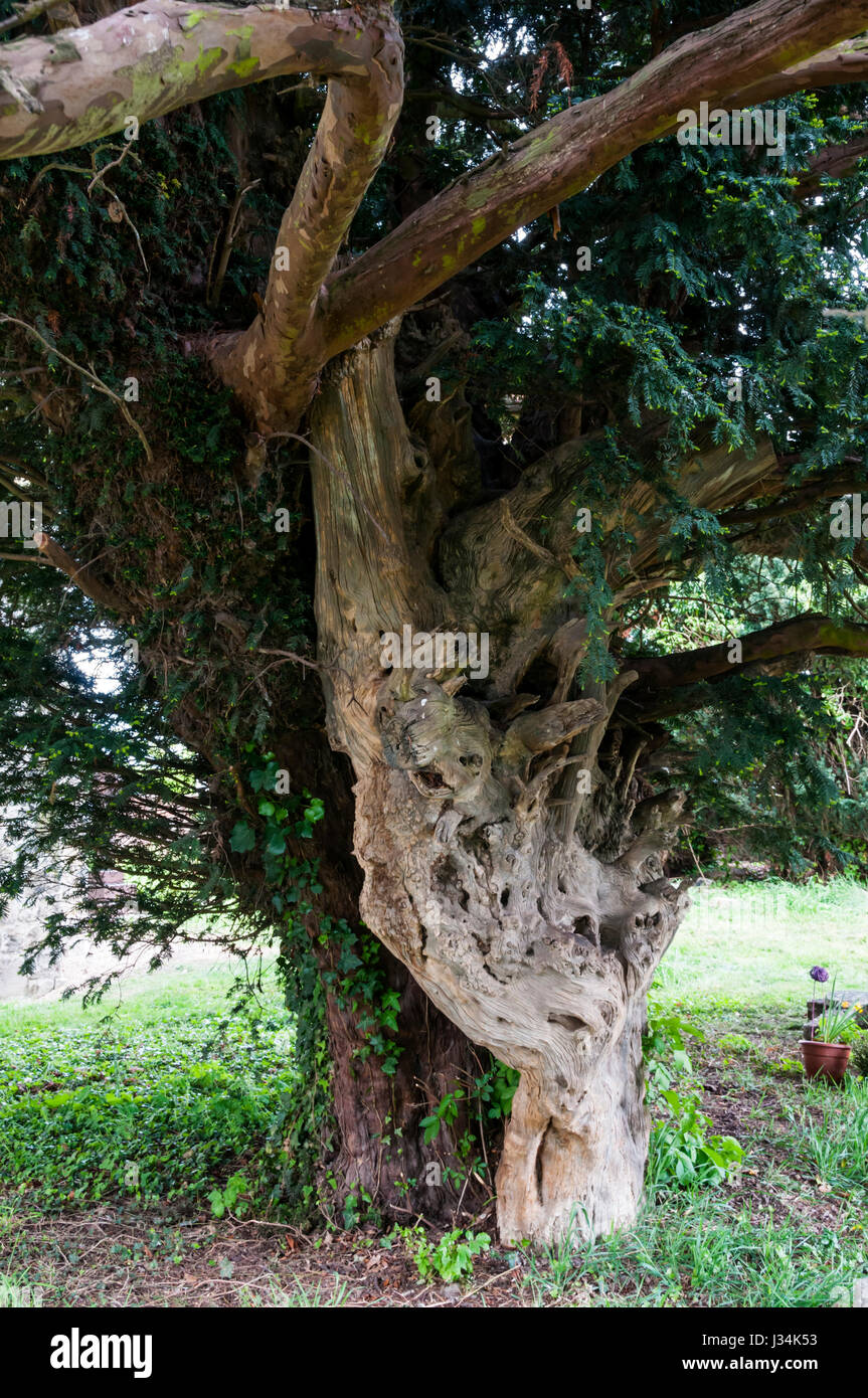 The Yew tree in the churchyard of St James', Cooling, grows out of the remains of an even older tree. - Stock Image