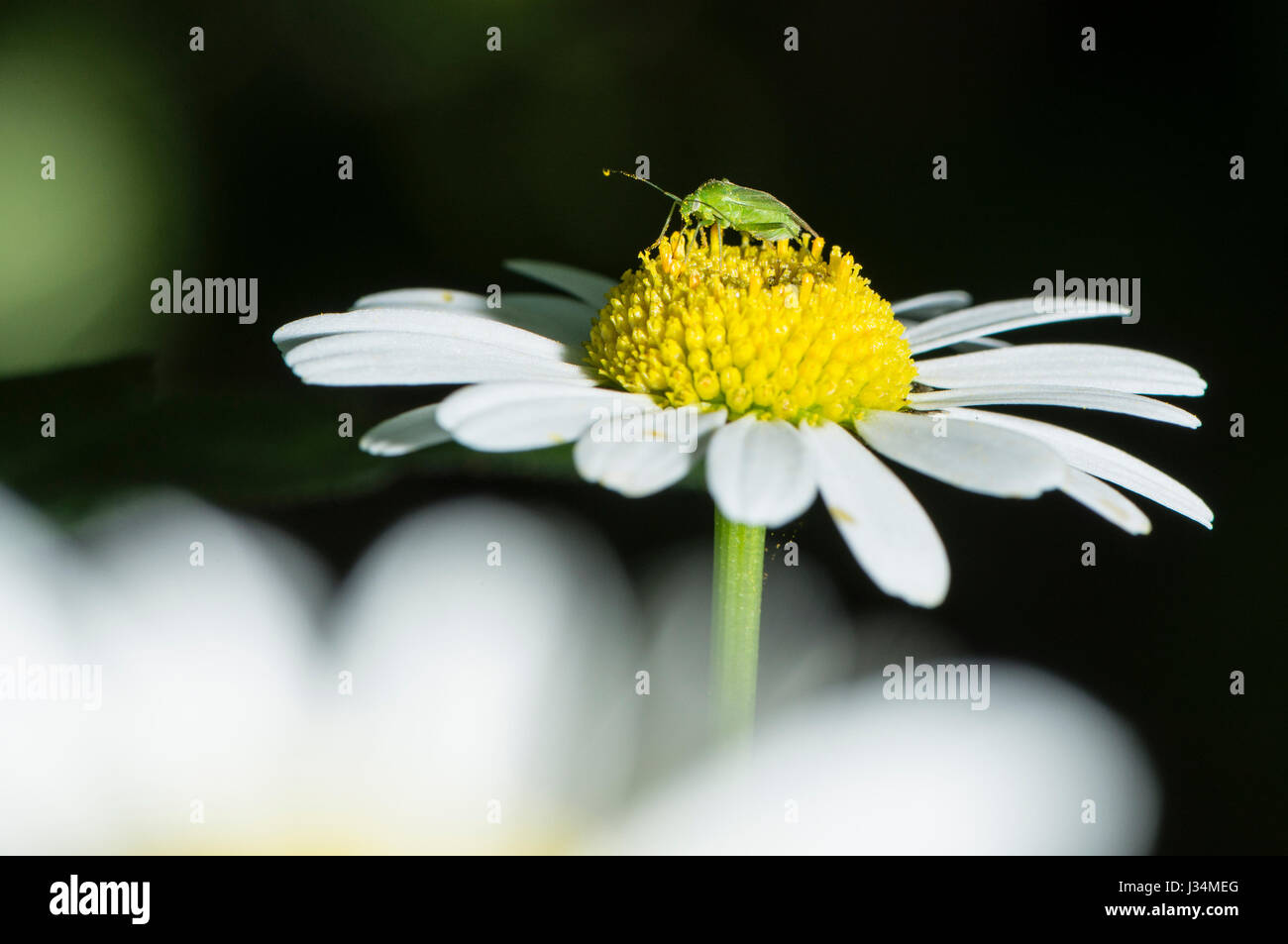 Green Capsid bug feeding on pollen on an oxeye daisy in a garden, Chipping, Lancashire. - Stock Image