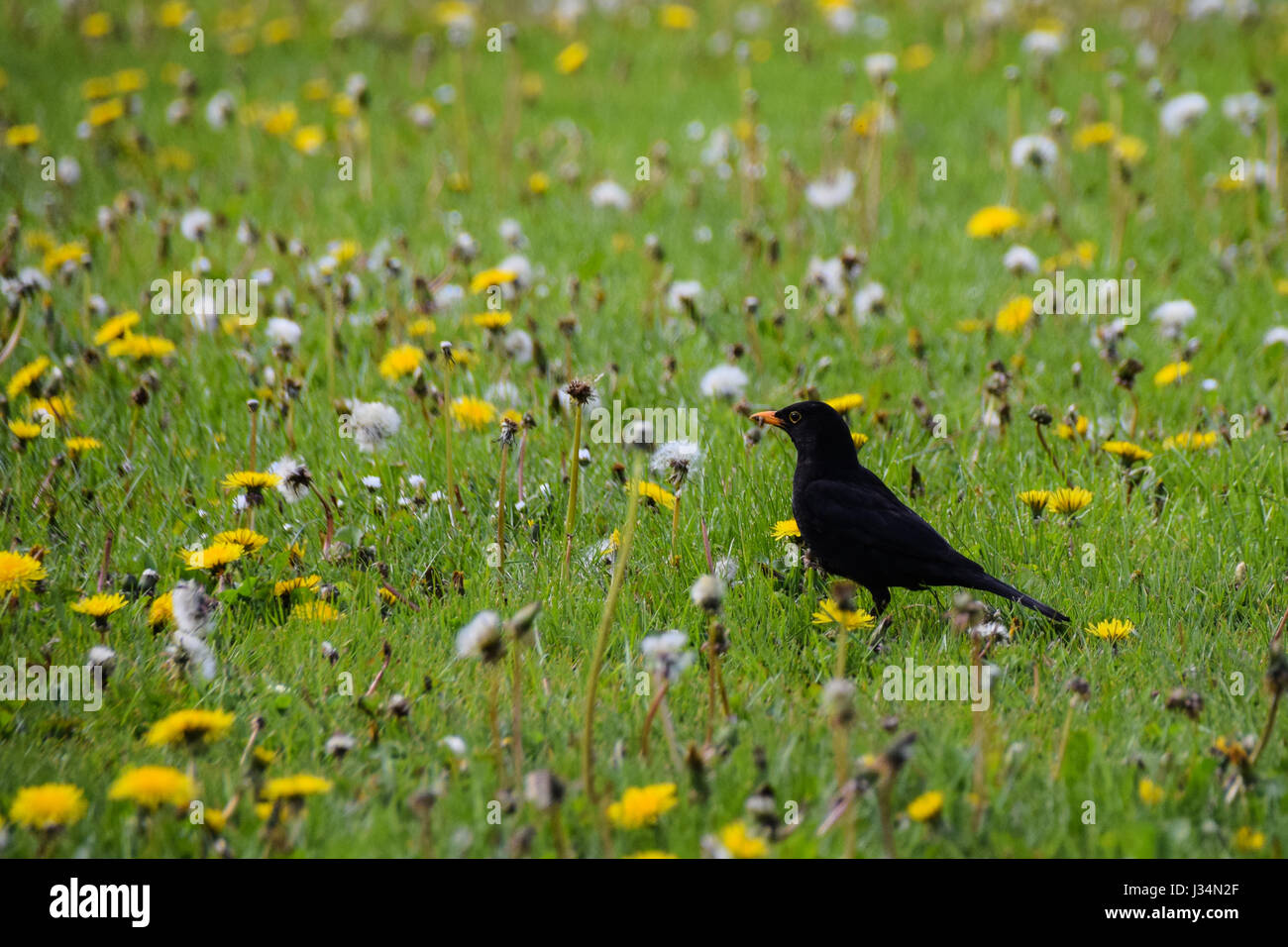 Spring time blackbird in a field of dandelions searching for worms but has caught flies in his beak - Stock Image