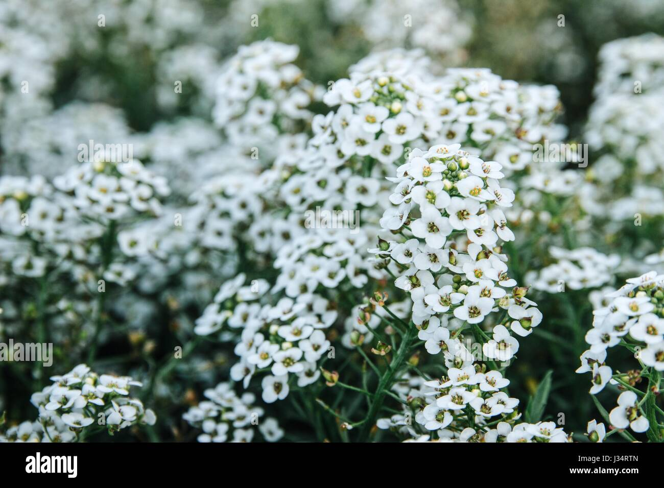 Bunch of tiny white flowers in clusters stock photo 139633445 alamy bunch of tiny white flowers in clusters mightylinksfo