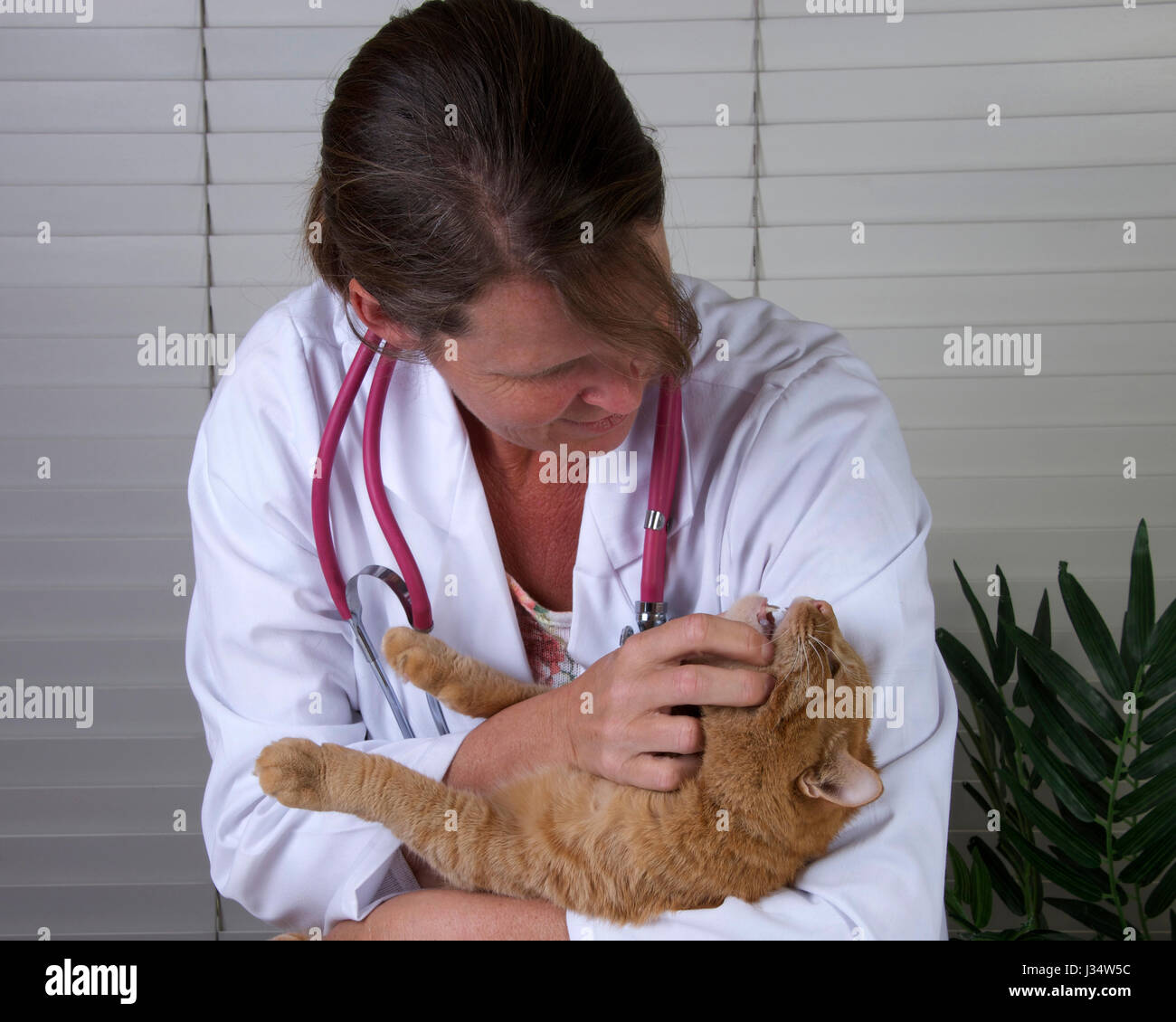 Model released image with female veterinarian examining male orange tabby cat on exam table - Stock Image
