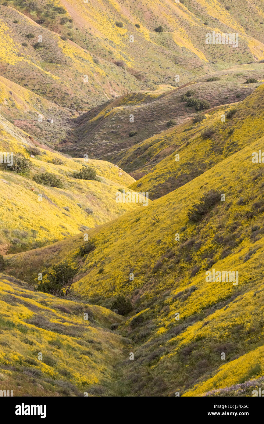 Spring wildflowers in the Caliente range on the western side of the Carrizo Plain in San Luis Obispo County California - Stock Image