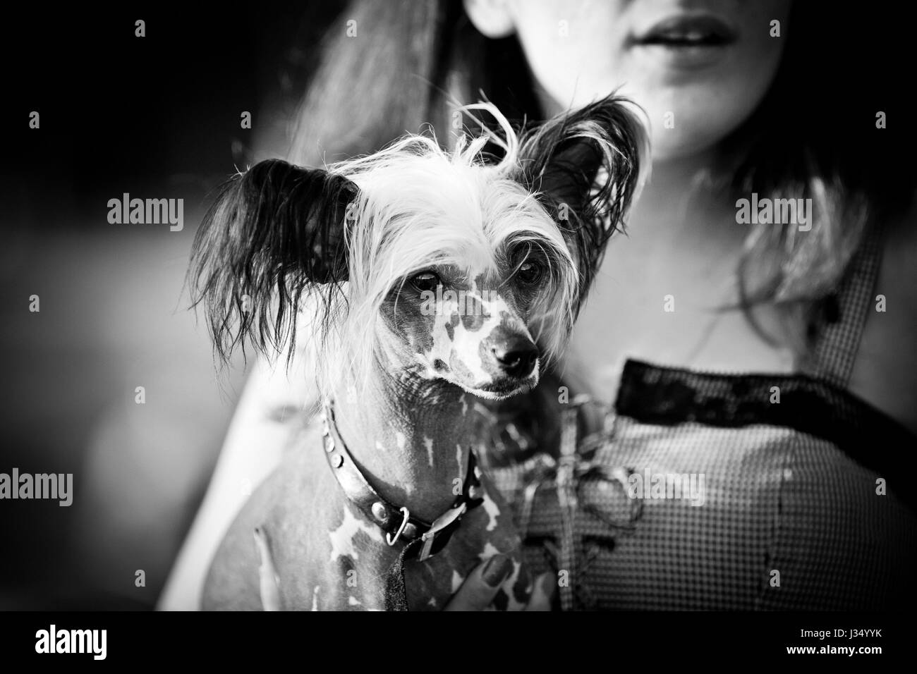 Chinese crested dog walking outdoors with owner. Monochrome. Grain added. - Stock Image