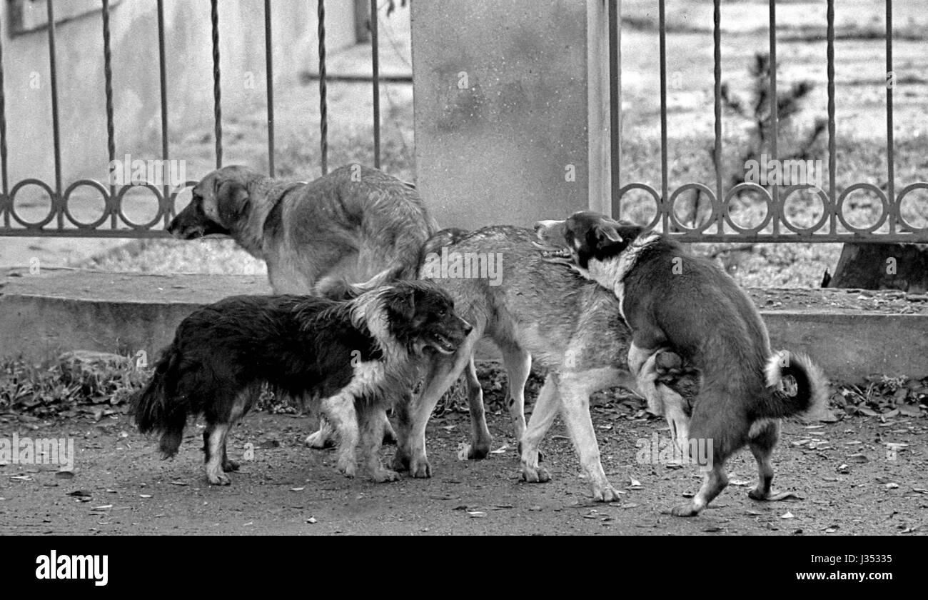 Mating of dogs. A black and white grainy image shot on film. Mat Stock Photo