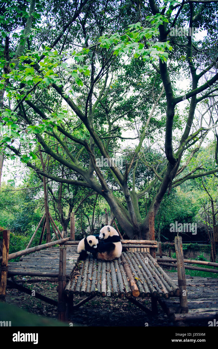 Panda mother and her cub, Chengdu - Stock Image
