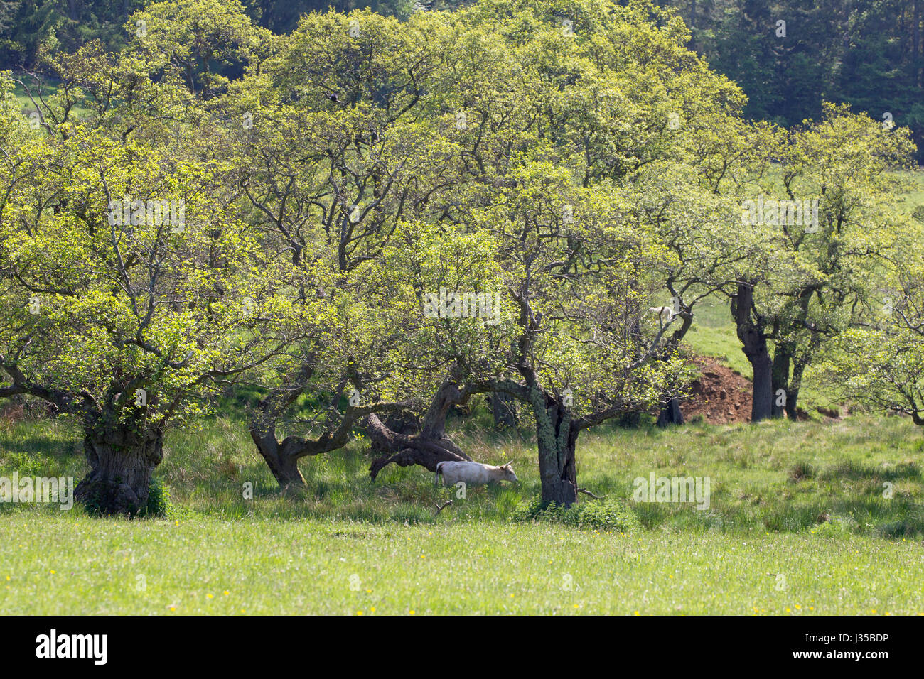 Chillingham Wild White Cattle, Single adult female roaming through woodland, Chillingham Estate, Northumberland, - Stock Image