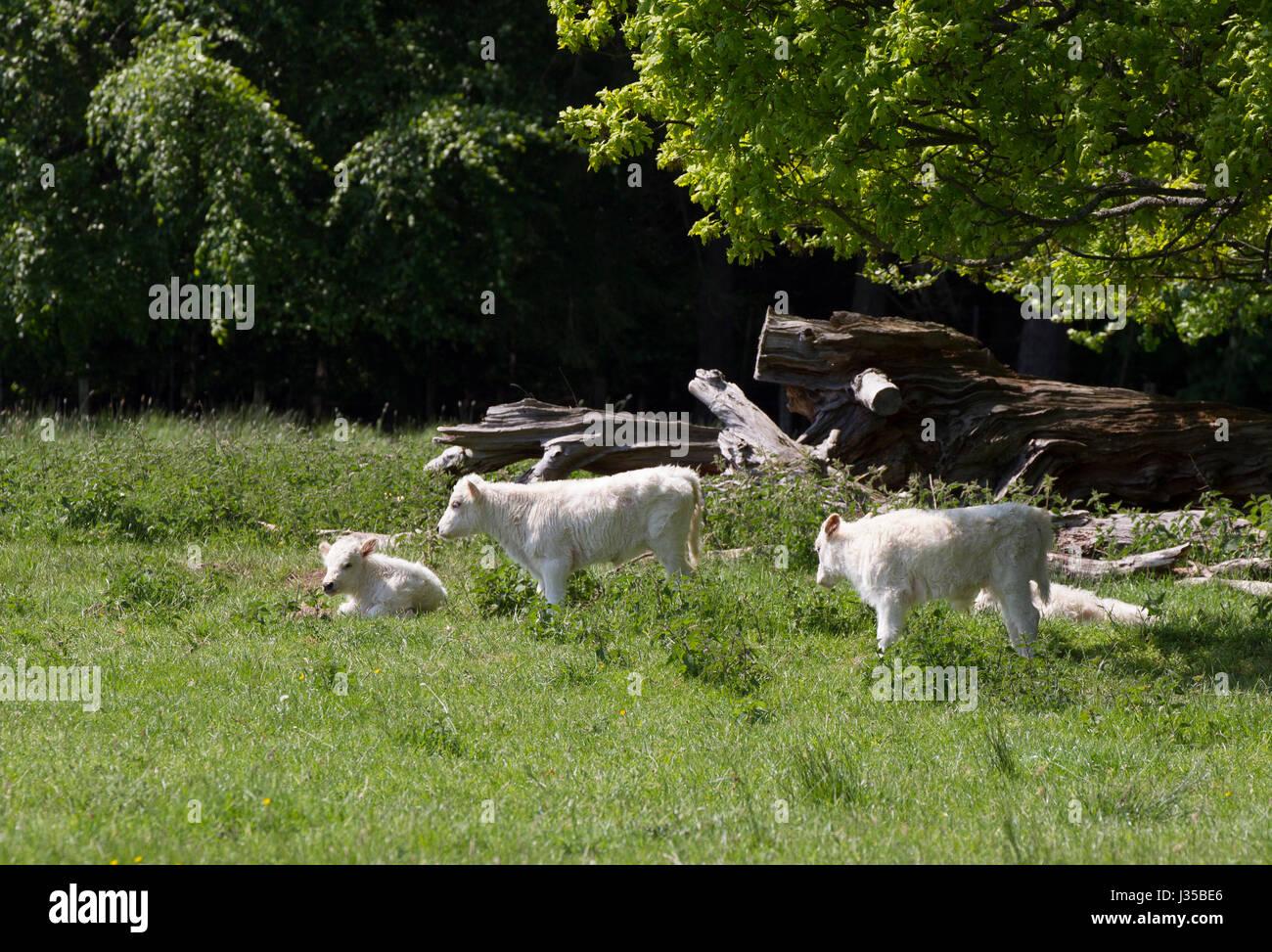 Chillingham Wild White Cattle, Calves resting under trees. Chillingham Estate, Northumberland, UK. - Stock Image