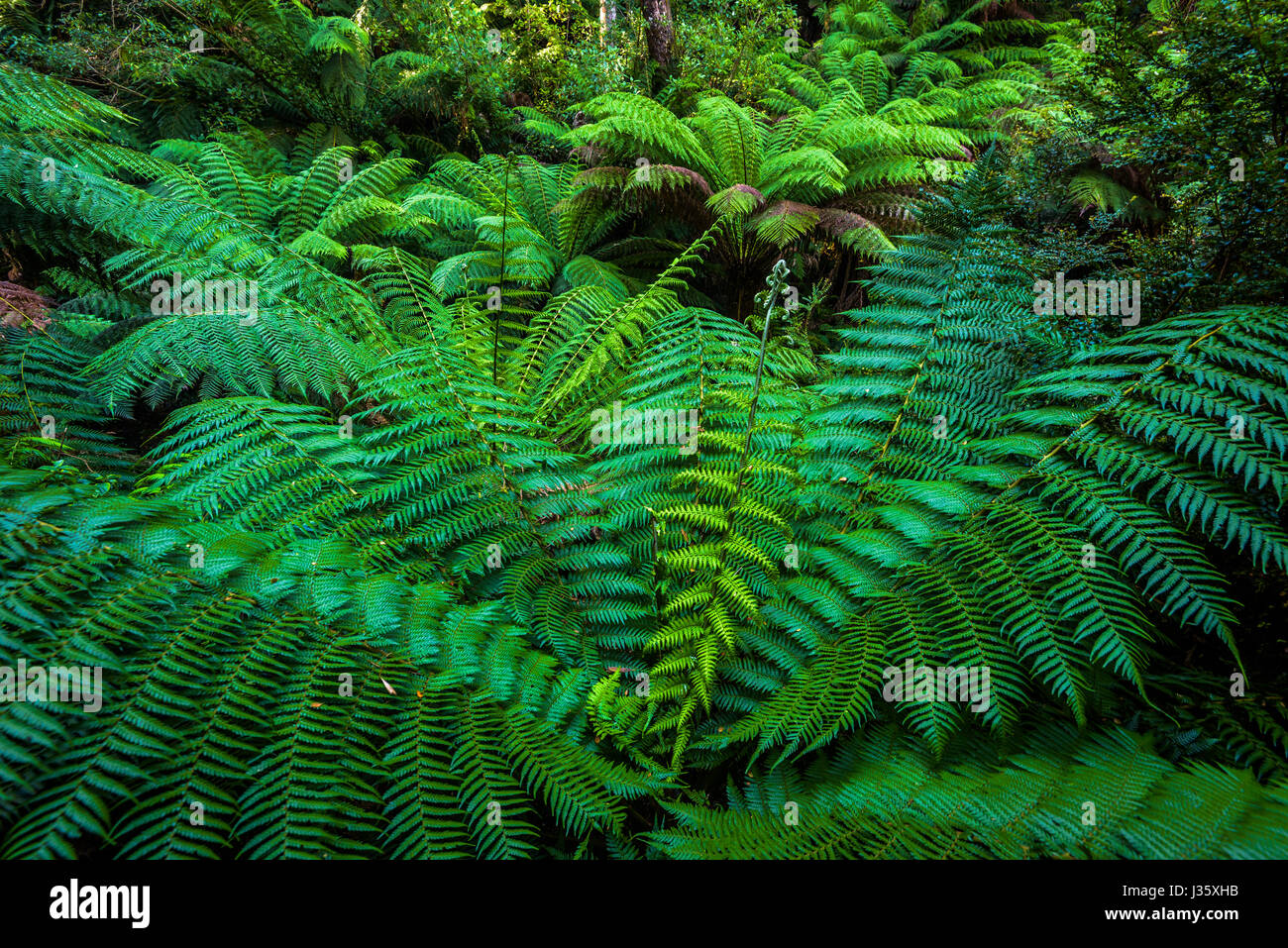 Ferns in Melba Gully, Great Otway National Park, Victoria - Stock Image