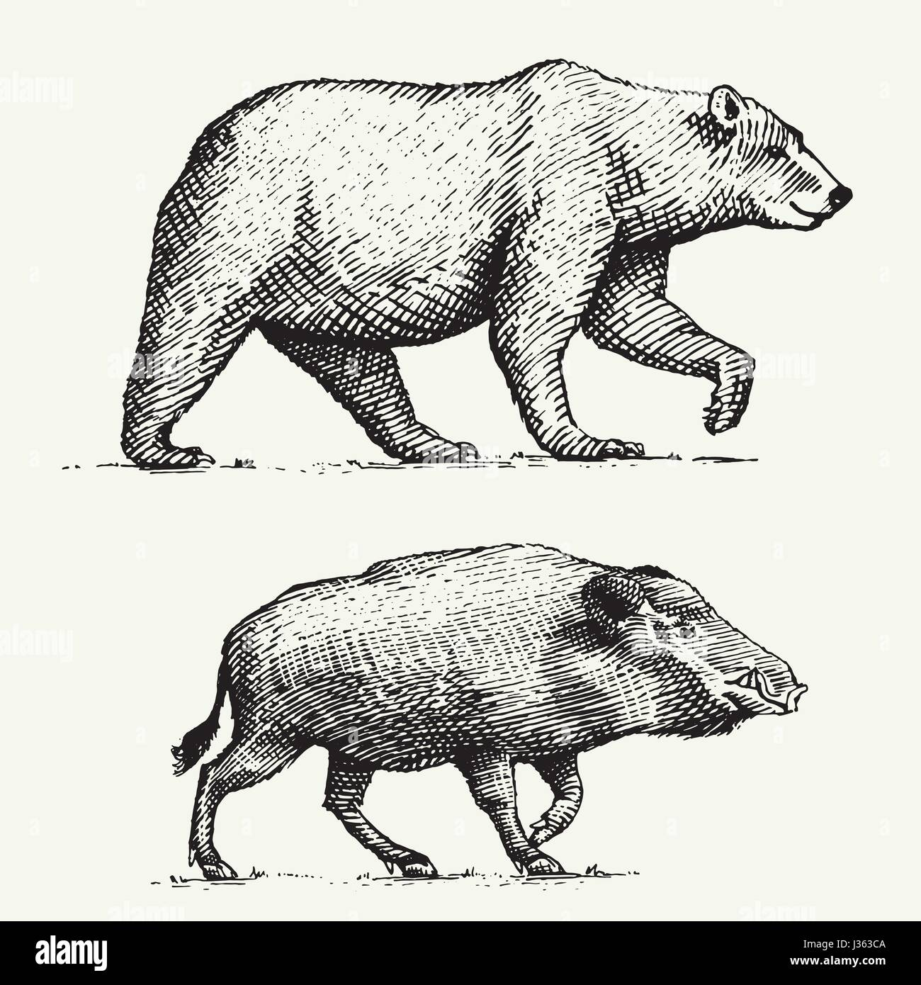 wild Bear grizzly and boar or pig engraved hand drawn in old sketch style, vintage animals Stock Vector